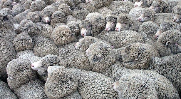 troupeau de moutons illustration tourisme de masse