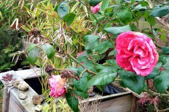 Jardin gros plan rose