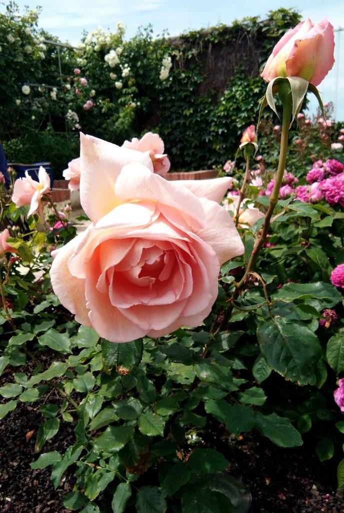 Gros plan rose Musée Christian Dior